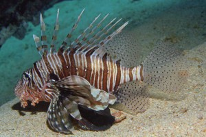 Common lionfish, Pterois volitans 1